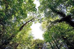 Baumkronen über einem Spreefliess in Lübben - eng stehen die hohen Bäumen entland der Spree.