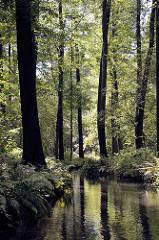 Schmales Fliess / Kanal im Spreewald bei Lübbenau; hohe Bäume und Farne.