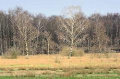 Birkenwald im  Naturschutzgebiet Wittmoor in Hamburg Duvenstedt.