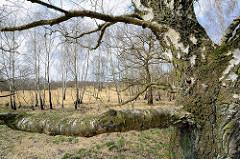 Birkenstamm, Birken im Naturschutzgebiet Wittmoor in Hamburg Duvenstedt.