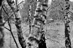 Birken im Naturschutzgebiet Wittmoor in Hamburg Duvenstedt; Schwarz-Weiß Aufnahme.