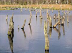 Hochmoor Wittmoor in Hamburg Duvenstedt - Hochmoorsee mit abgestorbenen Bäumen, Baumstümpfen.
