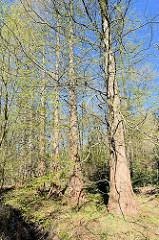 Mamutbäume im Osterwald auf der Halbinsel Zingst in Mecklenburg-Vorpommern. Das Waldgebiet ist vor einigen tausend Jahren durch Anlandung entstanden und liegt nur knapp über dem Meeresspiegel. Durch seine Lage weist es meist moorige Waldböden auf.