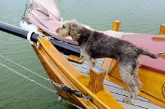 Schiffshund am Bug eines Zeesenbootes - das Zeesenboot ist ein Fischerboot und hat einen geringen Tiefgang - so ist es sehr gut geeignet für das Fischen in den flachen Küsten- und Boddengewässern; bei der Fangtechnik der  Zeesenfischerei ließ man das