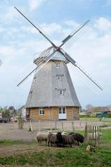 Neubau einer Windmühle in Ahrenshoop auf dem historischen Standort der alten Windmühle - jetzt Nutzung als Ferienwohnung; Schafe auf der Weide.