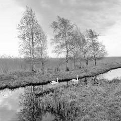 Naturbelassenes Ufer am Barther Bodden von Zingst - Schwäne auf dem Wasser, einzelne Erlen stehen auf einer Wiese.