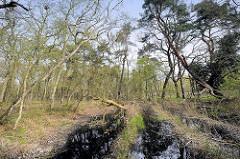 Osterwald auf der Halbinsel Zingst in Mecklenburg-Vorpommern. Das Waldgebiet ist vor einigen tausend Jahren durch Anlandung entstanden und liegt nur knapp über dem Meeresspiegel. Durch seine Lage weist es meist moorige Waldböden auf.
