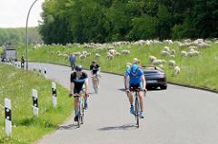 Rennrad-Fahrer / Fahrradtour auf dem Kaltehofe Hauptdeich in Hamburg Rothenburgsort; eine große Herde Schafe weiden auf dem Elbdeich.