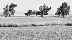 Boddenlandschaft bei Hiddensee, Mecklenburg Vorpommern; Wiese mit einzelnen Bäumen - Kiefern und Birken.