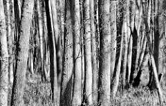 Erlenbruchwald im Nationalpark Vorpommersche Boddenlandschaft / Darßer Ort beim Ostseebad Prerow; dicht stehende Erlenstämme - schwarz-weiß-Darstellung.