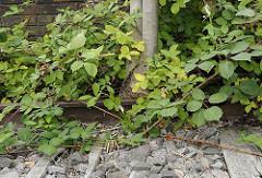 Die Gleisanlage am ehemaligen Bergedorfer Bahnhof Süd ist von Brombeersträuchern überwuchert, die Brombeerfrüchte glänzen schwarz in der Sonne - ein junger Baum wächst zwischen Bahnsteigmauer und Bahngleis. Die Holzschwellen des Bahngleises sind
