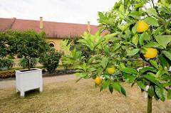 Zitrusbäume / Orangenbäume an der Orangerie beim Schloss Oranienbaum, Länge 175m - erbaut 1811; das Gebäude dient zur Unterbringung einer großen Sammlung von Zitruspflanzen sowie anderer seltener Gehölze.