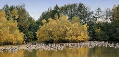 Rastplatz von Graugänsen am Hummelsee in Hamburg Hummelsbüttel - herbstliche Sträucher und Bäume.