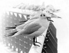 Möven sitzen auf dem Geländer der Fussgängerbrücke, die über den Haken von Entenwerder in Hamburg Rothenburgsort führt.