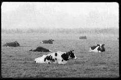 Wiese mit Kühen - Feld in Otterndorf