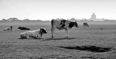 Kühe auf der Weide - im Hintergrund der historische Leuchtturm der Insel Neuwerk.