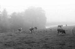 Nebellandschaft an der Medem in Otterndorf - Kühe grasen auf der Weide am Flussufer.