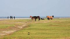 Wiese mit Pferden auf Neuwerk - Touristen auf dem Rundweg am Ufer der Nordsee.