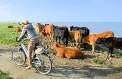 Kuhherde an der Strandpromenade von Otterndorf - eine Fahrradfahrerin fährt dicht an der freilaufenden Herde vorbei.