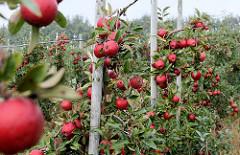 Obstplantage / Apfelplantage mit reifen, roten Äpfeln in Otterndorf.