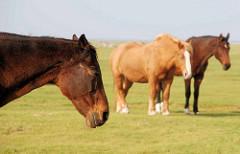 Pferde stehen in der Sonne auf der Weide auf der Insel Neuwerk - im Hintergrund die Nordsee.