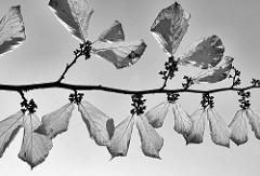 Herbstblätter im Gegenlicht - Bilder aus dem Hamburger Stadtpark, Schwarz-Weiß.