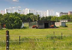 Hinter dem Zaun stehen auf einer Weide Kühe bei einem Schuppen und grasen. Im Hintergrund die Silhouette der Hochhäuser der Siedlung Kirchdorf-Süd .