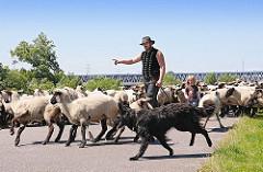 Schafherde auf dem Deich der Süderelbe bei Hamburg Stillhorn; der Schäfer gibt dem Hütehund Anweisungen, wohin er die Schafe treiben soll.