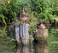 Ein Entenpaar sitzt auf alten Holzdalben in einem Rothenbursorter Kanal - der Erpel reckt seinen Kopf neugierig zur Seite während die Ente schläfrig in der Sonne sitzt.