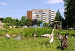 Enten am Teich auf dem Kinderbauernhof in Hamburg Kirchdorf; ein Schaf geht auf dem Weg hinter dem Zaun.