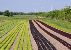 Salatfeld in Hamburg-Stillhorn; in der ländlichen Region des Stadtteil Wilhelmsburg wird für die Hamburger Verbraucher Gemüse angebaut.
