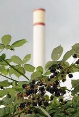 Brombeersträucher überwuchern nicht genutzte Gewerbegebiete in Hamburg Rothenburgsort; die schwarzen Früchte der dornigen Kletterpflanze glänzen in der Sonne.