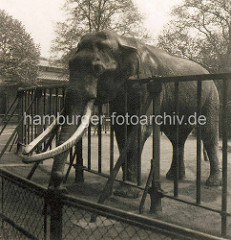 Alte Fotografie vom Hamburger zoologischen Garten in den Wallanlagen - ein Elefant mit langen Stoßzähnen steht hinter einem Eisenzaun.