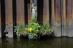 Eine mit Grünpflanzen bewachsene Dalbe an einer Spundwand im Müggenburger Kanal auf der Peute. Das Holz des Pfahls ist stark vermodert.