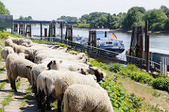 Schafe weiden auf dem Elbdeich beim Schiffsliegeplatz Finkenried - zwei Binnenschiffe haben fest gemacht. Am Heck der TMS HORNHAFEN weht die Deutschlandfahne.