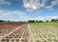 In Hamburg Moorwerder baut die regionale Landwirtschaft neben Blumen auch Gemüse an. Der Salat steht in langen Reihen auf dem Feld.