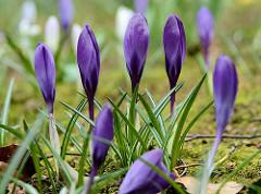 Frühling in Hamburg!!!  Blau violette Krokusse  stehen artig aufgereiht.