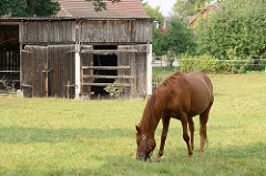 Pferdewiese im Ortskern von Maschen; grasendes Pferd - im Hintergrund ein verfallener Holzschuppen.