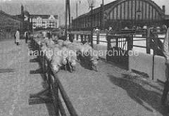 Historische Fotografie vom Schlachthof Hamburg - Schweine in der Trift beim Bahnhof Sternschanze.