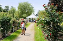 Rosenallee mit blühenden Rosen im Rosengarten / Rosarium von Uetersen; Weg zum Pavillon.