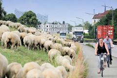 Bilder  aus Hamburg Wilhelmsburg, eine Schafherde weidet am Deich, Lastwagenverkehr auf der Straße.