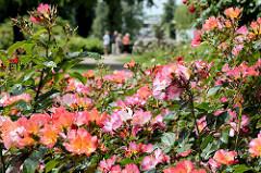 Sommer im Rosengarten - blühende Strauchrosen im Rosarium von Uetersen.
