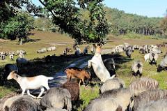 Eine Heidschnuckenherde wird durch die Fischbeker Heide getrieben, die Schafe weiden in der Heide - eine Ziege steht auf Ihren Hinterbeinen und frißt Laub vom Zweig eines Baumes.