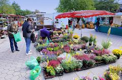 Wochenmarkt im Hamburger Stadtteil Neugraben-Fischbek; Verkaufsstand mit blühenden Blumen, Heide / Erika.
