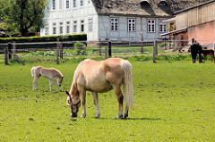 Pferdeweide - Stute mit Fohlen, im Hintergrund großes Fachwerkgebäude mit Reetdach - Bilder aus Stelle, Landkreis Harburg.