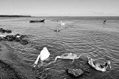 Blick auf das Kurische Haff bei Nida, Lettland; Schwäne am Ufer - Holzboot vor Anker.