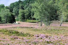 Violetter / lila Teppich von blühender Heide in der Fischbeker Heide - Hügel mit Bäumen.