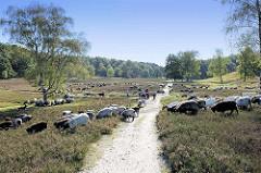 Eine Heidschnuckenherde grast zwischen der Heide im Naturschutzgebiet Fischbecker Heide; Fußwege / Wanderwege durchkreuzen das Gelände.