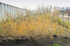 Wildkraut wächst aus den Fugen von aufgerissenem Asphalt eines Parkplatzes in Hamburg Waltershof.