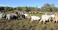 Eine Heidschnuckenherde wird durch die Fischbeker Heide getrieben, die Schafe weiden in der Heide - im Hintergrund bewaldete Hügel.